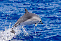 Striped Dolphin, Stenella coeruleoalba, porpoising, Azores, Atlantic Ocean