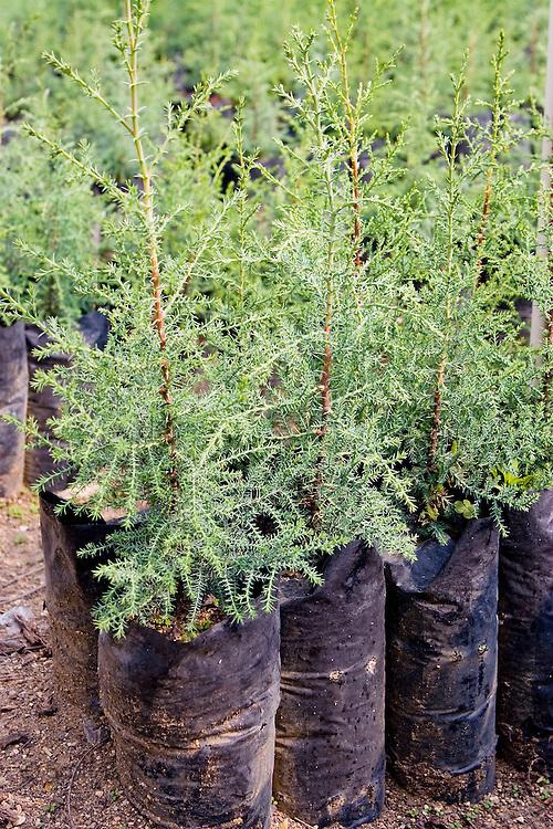Baby gravila trees used for shading coffee plants, near Antigua, Guatemala