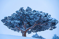 Sierra Juniper standing the test of time atop Donner Summit, California