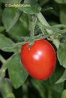 HS09-514z  Tomato mature fruit, Plum tomato, Juliet, Lycopersicon lycopersicum