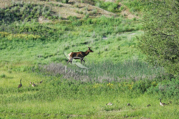 Rocky Mountain Elk bull (Cervus elaphus) or wapiti with canadian geese.  Western U.S., spring.