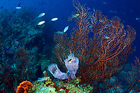 A delicate reef scenic with an Azure Vase sponge , Callyspongia plicifera, nestled at the base of a deep water gargonian and orange elephant ear sponge, Morat Wall, Roatan, Bay Islands, Honduras, Central America, Caribbean Sea.