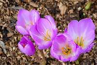 Colchicum E. A. Bowles autumn flowering bulb in fall bloom