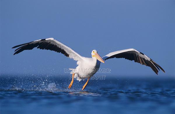 American White Pelican, Pelecanus erythrorhynchos, adult taking off, Rockport, Texas, USA