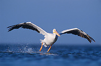 American White Pelican, Pelecanus erythrorhynchos, adult taking off, Rockport, Texas, USA
