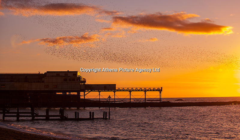 Aberystwyth, UK 23rd February 2016 Thousands of starlings fly above Aberystwyth pier during the sunset