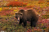 Grizzly Bear eating blueberries in the tundra..Autumn. Denali National Park, Alaska..(Ursus arctos).
