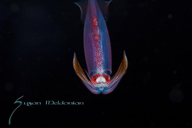 Squid, Arrow squid, Doryteuthis pleii,