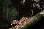 Giant Leaf-tailed Gecko (Uroplatus giganteus). Active in forest understorey at night. Marojejy National Park, Madagascar.