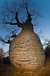 Bottle Baobab (Adansonia rubrostipa) over 3000 years old. Lac Tsimanampetsotsa National Park, SW Madagascar.