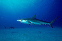 Horizontal image of two caribbean reef sharks (carcharhinus perezi) curiously crusing across white sands close to a reef drop off - Bahama Islands.