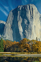 Merced River black oaks and El Capitan<br /> Yosemite Valley<br /> Yosemite National Park<br /> Sierra Nevada,  California
