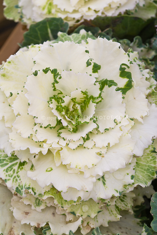 Ornamental cabbage vegetable, white with some green, ruffled and pretty cold weather crop Brassica
