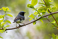 Black-throated Blue Warbler (Setophaga caerulescens caerulescens), male in breeding plumage foraging during migration at Doodletown, Bear Mountain State Park, New York.