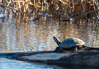 Northwestern Pond Turtle, Actinemys marmorata, basks on a log in Sacramento National Wildlife Refuge, California