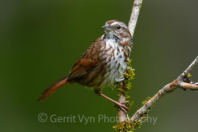 Song Sparrow (Melospiza melodia). Oregon. April.