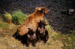 Grizzly bear with cubs sit next to the Brooks River at Katmai National Park and Preserve in southern Alaska. Katmai is across from Kodiak Island and it contains the world's largest protected brown bear population.
