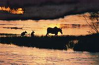 Cow moose w/ twin calves. Alagnak River,AK.