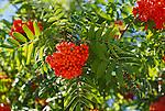 6000-CC European Mountain Ash, Sorbus aucuparia, fruit, foliage, at Tualatin, Oregon