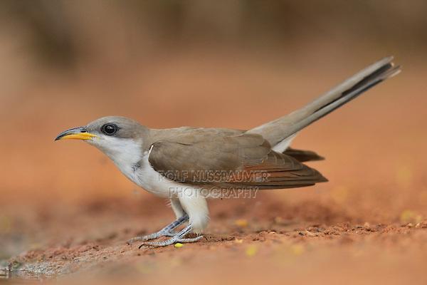 Yellow-billed Cuckoo (Coccyzus americanus), adult, Rio Grande Valley, South Texas, Texas, USA