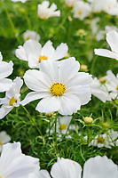 Cosmos bipinnatus 'Casanova White'