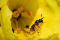 Schmalbiene, Furchenbiene, Furchen-Biene, Schmal-Biene, Blütenbesuch an Königskerze, Verbascum, Lasioglossum spec., sweat bee, halictid bee, Furchenbienen, Schmalbienen