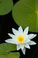 """Fragrant White Water Lily""<br />