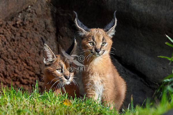 """Two young Caracal Kittens (Caracal caracal).  Caracals are found in Africa to Central Asia and India.  The word """"Caracal"""" comes from the Turkish word """"karakulak"""" which means """"black ear."""""""