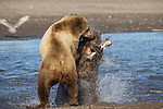 Pictured:  Sequence 3 of 13:  The mum having caught the fish is attacked by the other bear sending the fish flying through the air<br /> <br /> Grizzly bears viciously attack each other as they battle over a fish.  The two brown-haired bears became aggressive as they came to blows over their food, digging their paws and teeth into each other.<br /> <br /> Photographer Kevin Dooley spotted the female bear, thought to be about 16 years old, fighting with the younger five-year-old male bear in southwestern Alaska.  SEE OUR COPY FOR DETAILS.<br /> <br /> Please byline: Kevin Dooley/Solent News<br /> <br /> © Kevin Dooley/Solent News & Photo Agency<br /> UK +44 (0) 2380 458800