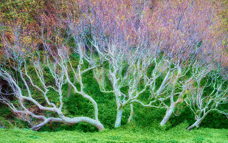 Large Sycamore tree with early spring growth. Big Sir coast. California