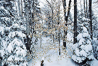 WT09-011b  Forest - winter