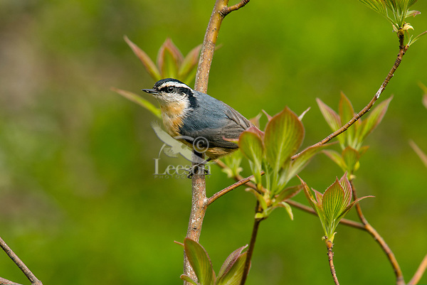 Red-breasted Nuthatch (Sitta canadensis).  Great Lakes Region.  Spring,