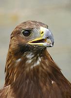 Female Golden Eagle close-up. (Aquila chrysaetos)....Copyright..John Eveson, Dinkling Green Farm, Whitewell, Clitheroe, Lancashire. BB7 3BN.01995 61280. 07973 482705.j.r.eveson@btinternet.com.www.johneveson.com