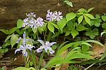 Dwarf Crested iris and Phlox
