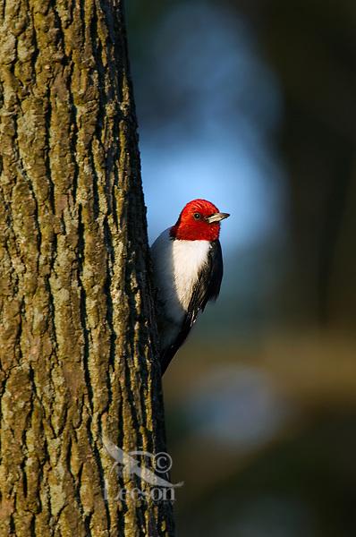 Red-headed Woodpecker (Melanerpes erythrocephalus).  Great Lakes Region.