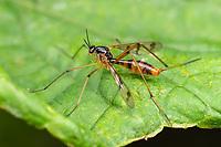 Phantom Crane Fly (Ptychoptera quadrifasciata)