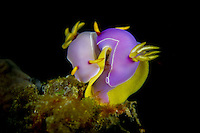 Hypselodoris bulloki pair laying eggs