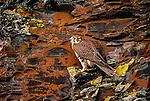 Prairie falcon, Washington