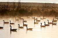 Migrating geese rest on a fog filled pond on a farm before taking flight in Louisa County, VA.  Photo/Andrew Shurtleff