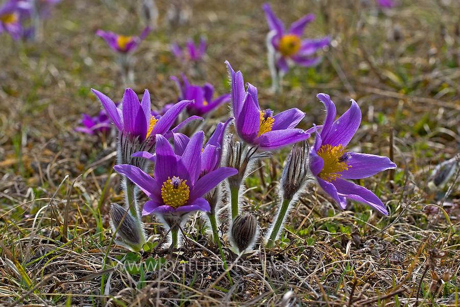 Gewöhnliche Küchenschelle, Gewöhnliche Kuhschelle, Pulsatilla vulgaris, pasque flower, pasqueflower, common pasque flower, Dane's blood