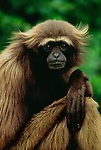 Gray Gibbon