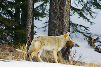 Coyote with dead pine marten (NOT setup or captive).  Winter.  Northern Rockies