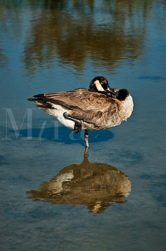Canadian goose standing on one leg.