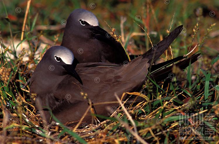 Brown noddies on nest at laysan I. Note sandbur plant in nest.