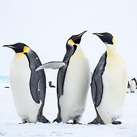 Snow Hill Island, Antarctica. Three Emperor Penguins close-up.