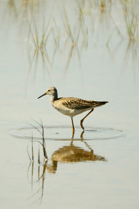 Not always found at the ocean, this species of sandpiper can also be found in freshwater swamps and flooded fields.