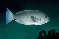 Sea Chub, Girella punctata Gray, Futo, Sagami bay, Izu peninsula, Shizuoka, Japan, Pacific Ocean