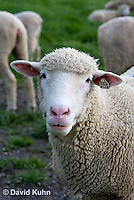 0512-0907  Sheep, Dorset Ewe, Ovis aries  © David Kuhn/Dwight Kuhn Photography