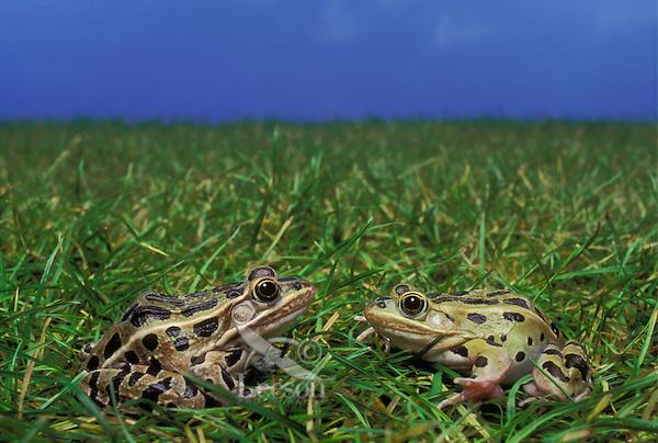 Southern Leopard Frogs..Central & Southeastern USA..(Rana sphenocephala).