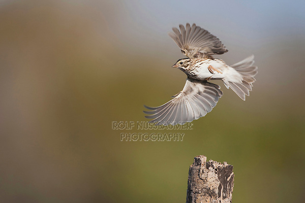 Savannah Sparrow (Passerculus sandwichensis), adult in flight, Sinton, Corpus Christi, Coastal Bend, Texas, USA